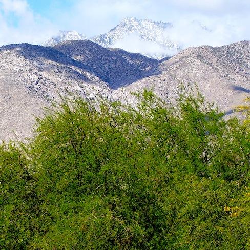 desert acacia with San Jacinto mountains behind them
