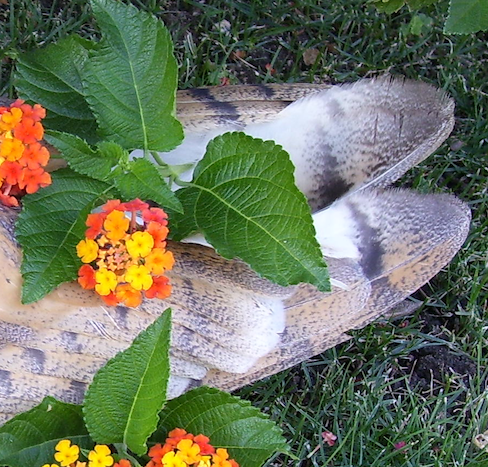 barn owl wing feathers with lantana (flowers)