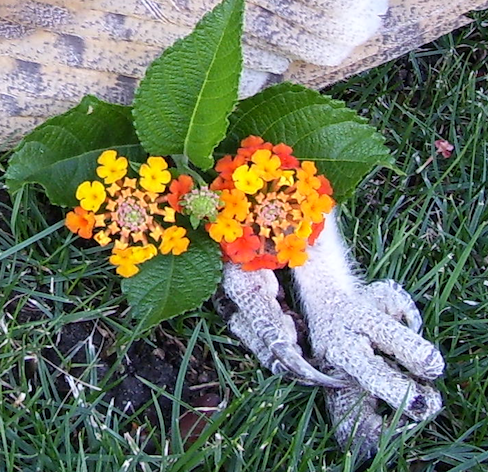 barn owl talons, lantana tucked up against them