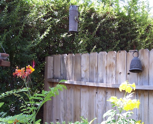 Goldfinch on tube feeder with Mexican birds of paradise and tecoma blossoms