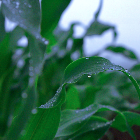 corn plant leaves with raindrops © Tomo Yun
