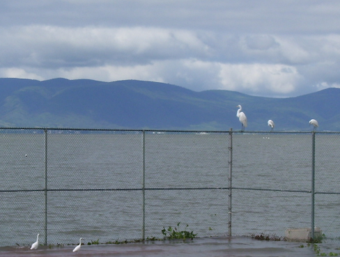 egrets on the tennis court fence