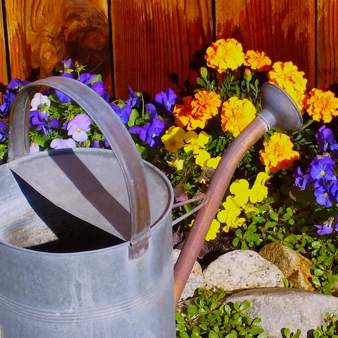 Flowers and metal watering can