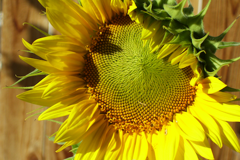 close-up of a sunflower in sunlight