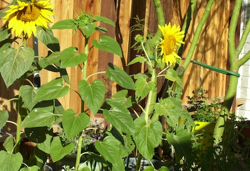sunflower volunteers, wild patch of garden