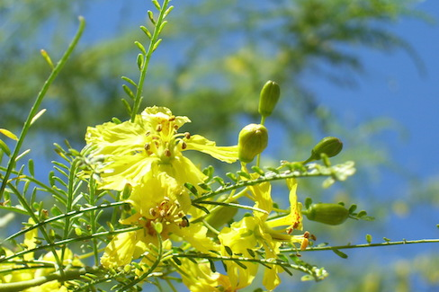 yellow palo verde blossoms and buds