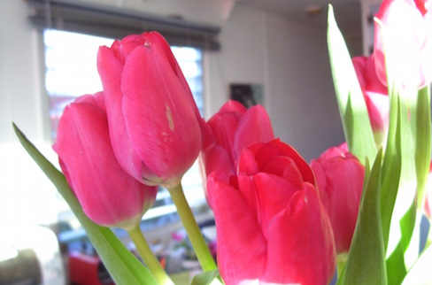 red tulips in the sunlight