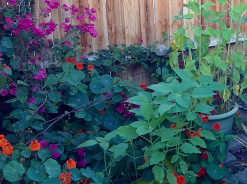 nasturtiums, bougainvillea and sunflower greenery in my garden